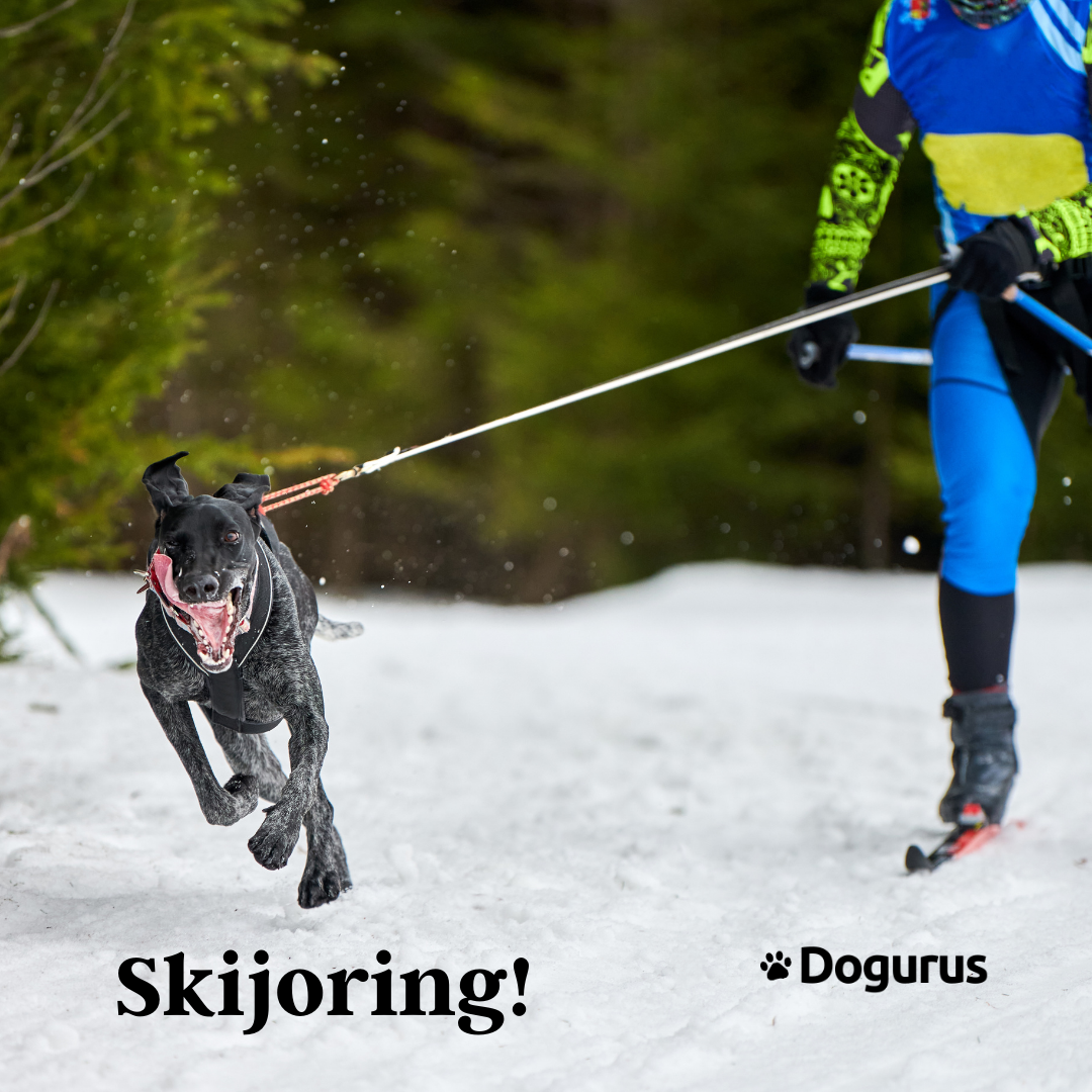 Dog And Owner Skijoring