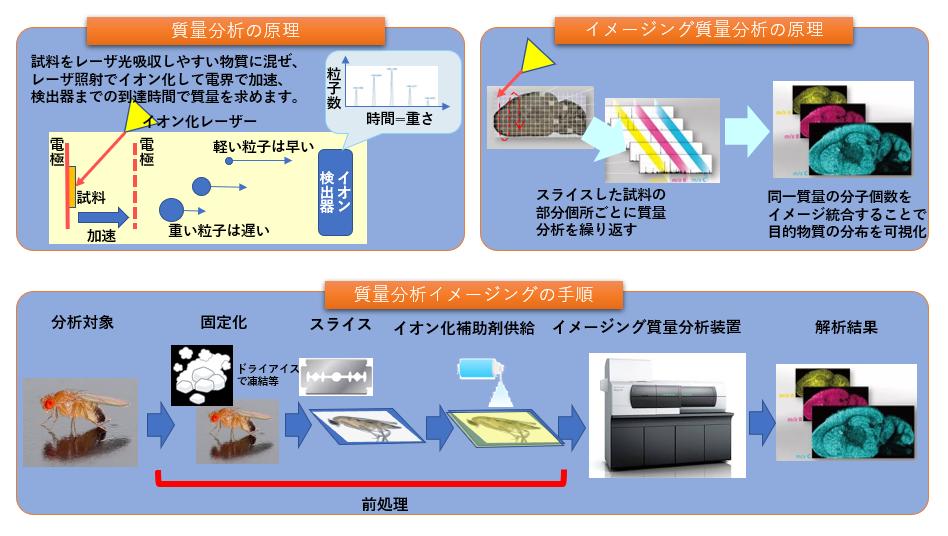 質量分析イメージング受託分析 フロー マスイメージング