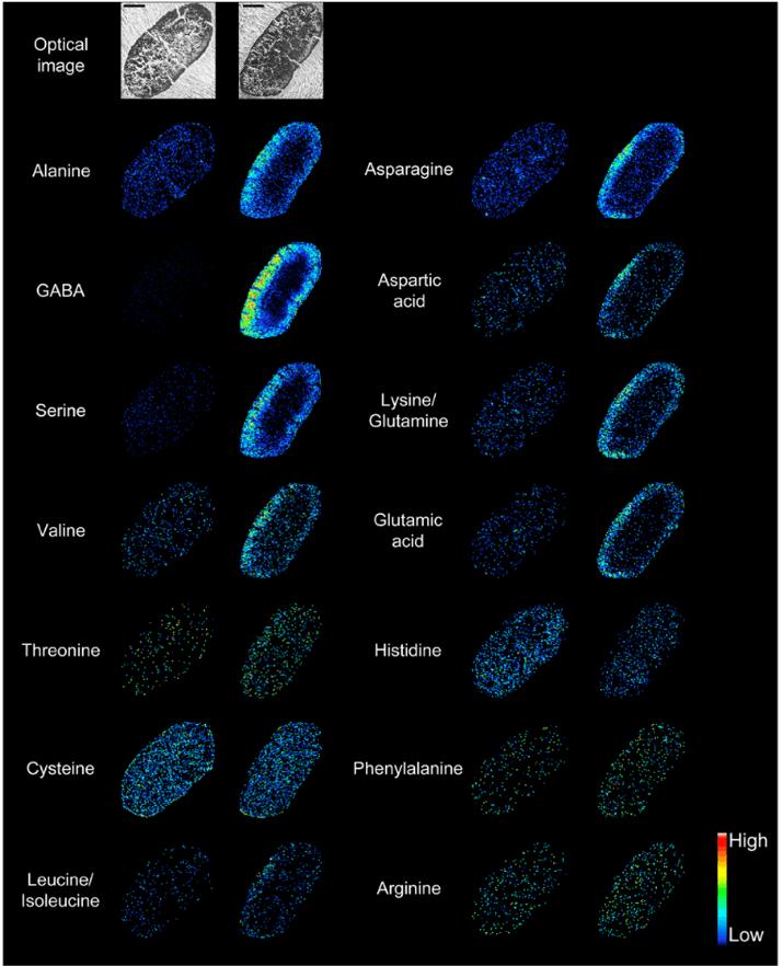アミノ酸スキャン 質量分析イメージング マスイメージング