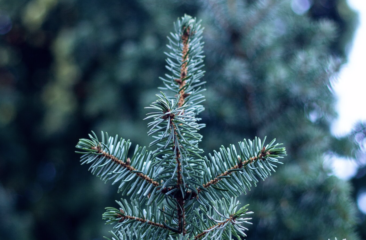 Close-up of the tip of a pine tree