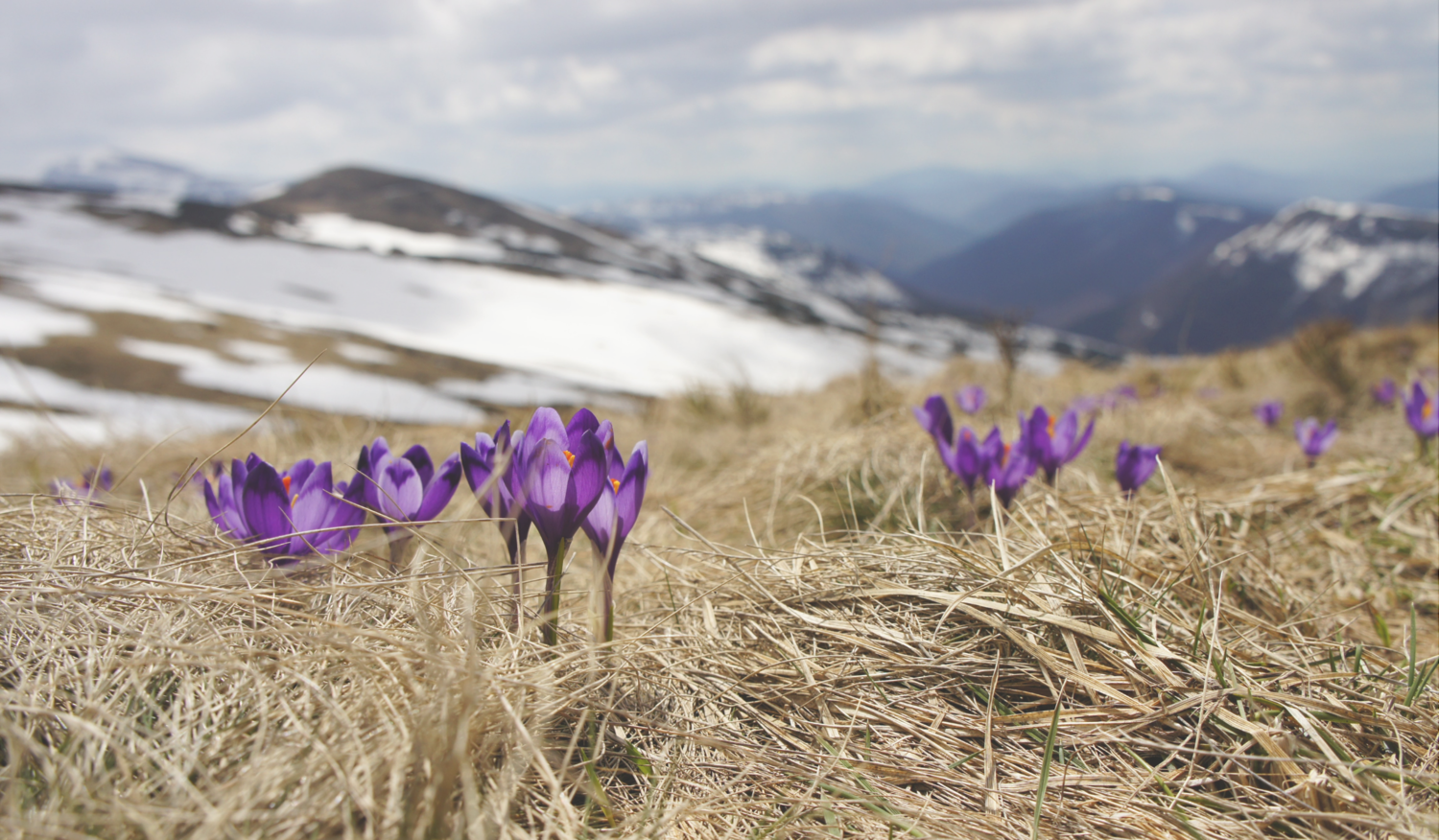 Close up of purple flowers sprouting from a snowy mountaintop