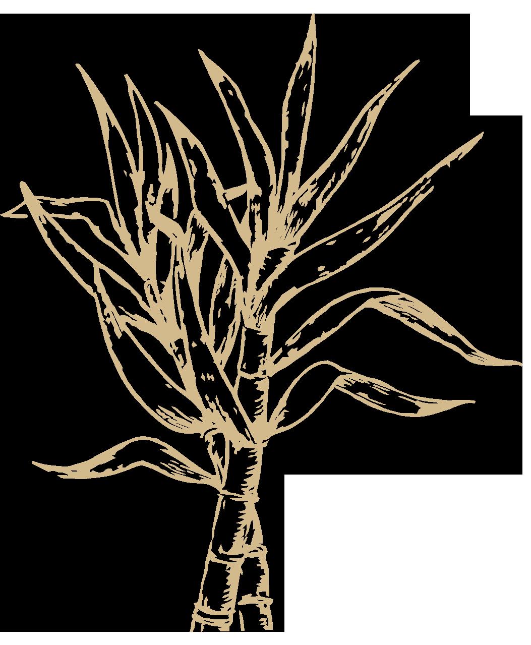 illustration of a sugar cane plant
