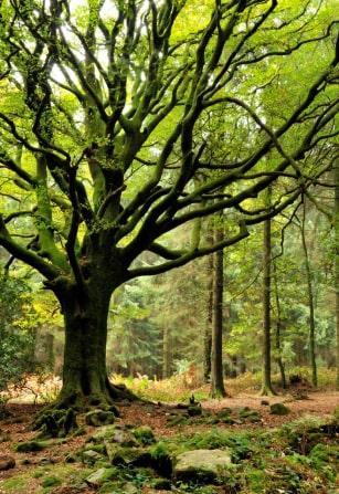 Un arbre dans la forêt de Brocéliande.