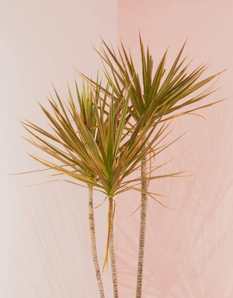 Dragontree plant in front of a pink wall.