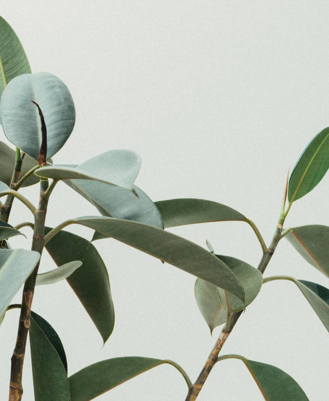 A zommed image of Ficus plant in front of a green wall.