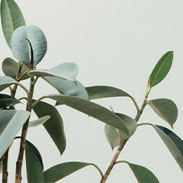 A zoomed view of ficus plant with green leaves.