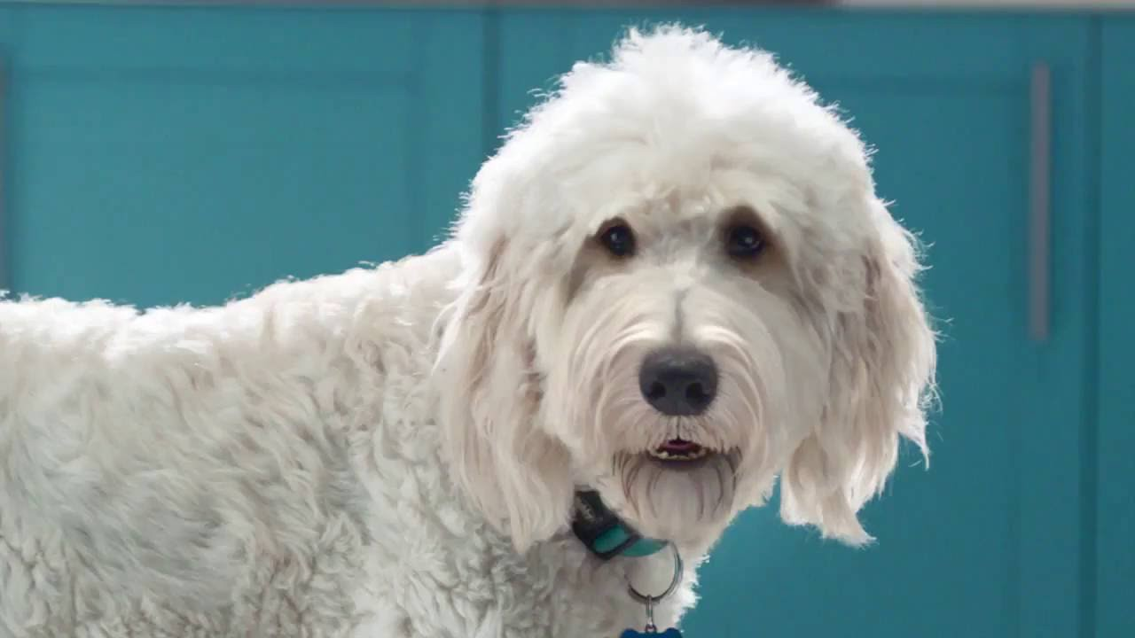 A large white dog with curly fur looks towards the camera, standing in front of a blue cupboard. It is wearing a blue collar.