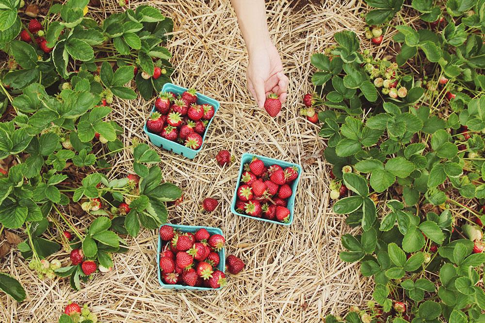 Erdbeeren pflücken beim Feldmanns Grüner Markt