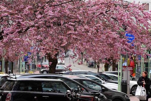 Kirschblüte auf der Rü