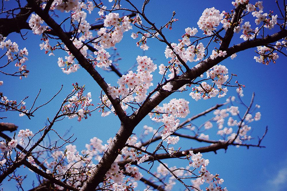 Kirschblüte: Orte für rosa Blütenzauber in Essen Grugapark