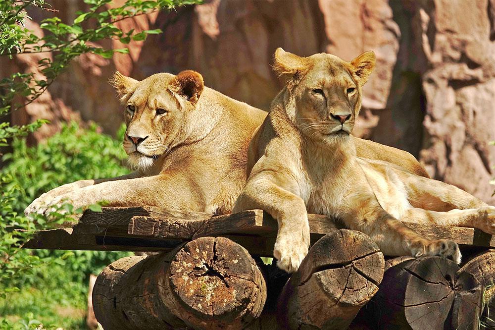 Tiger Paar im weitläufigen Gehege der Zoom Erlebniswelt in Gelsenkirchen