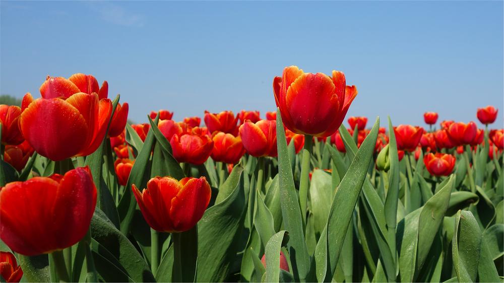 tulips - graphene radiator image
