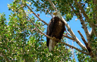 eagle perched above north platte river