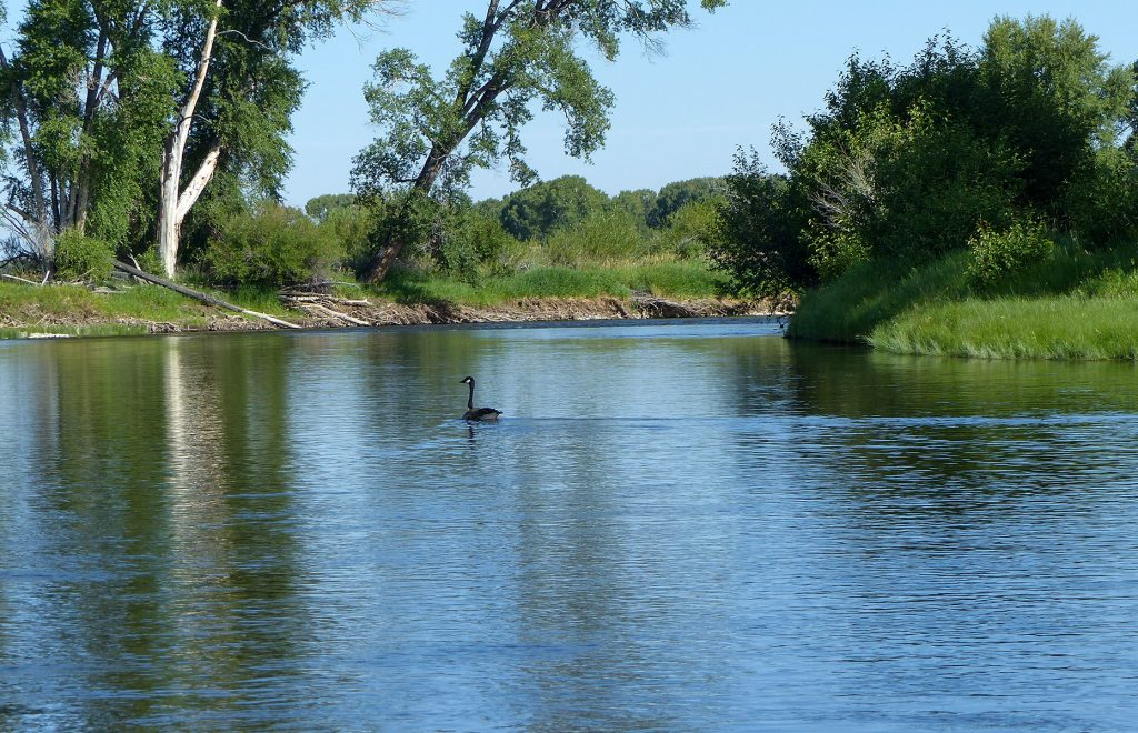 scenic north platte river with goose