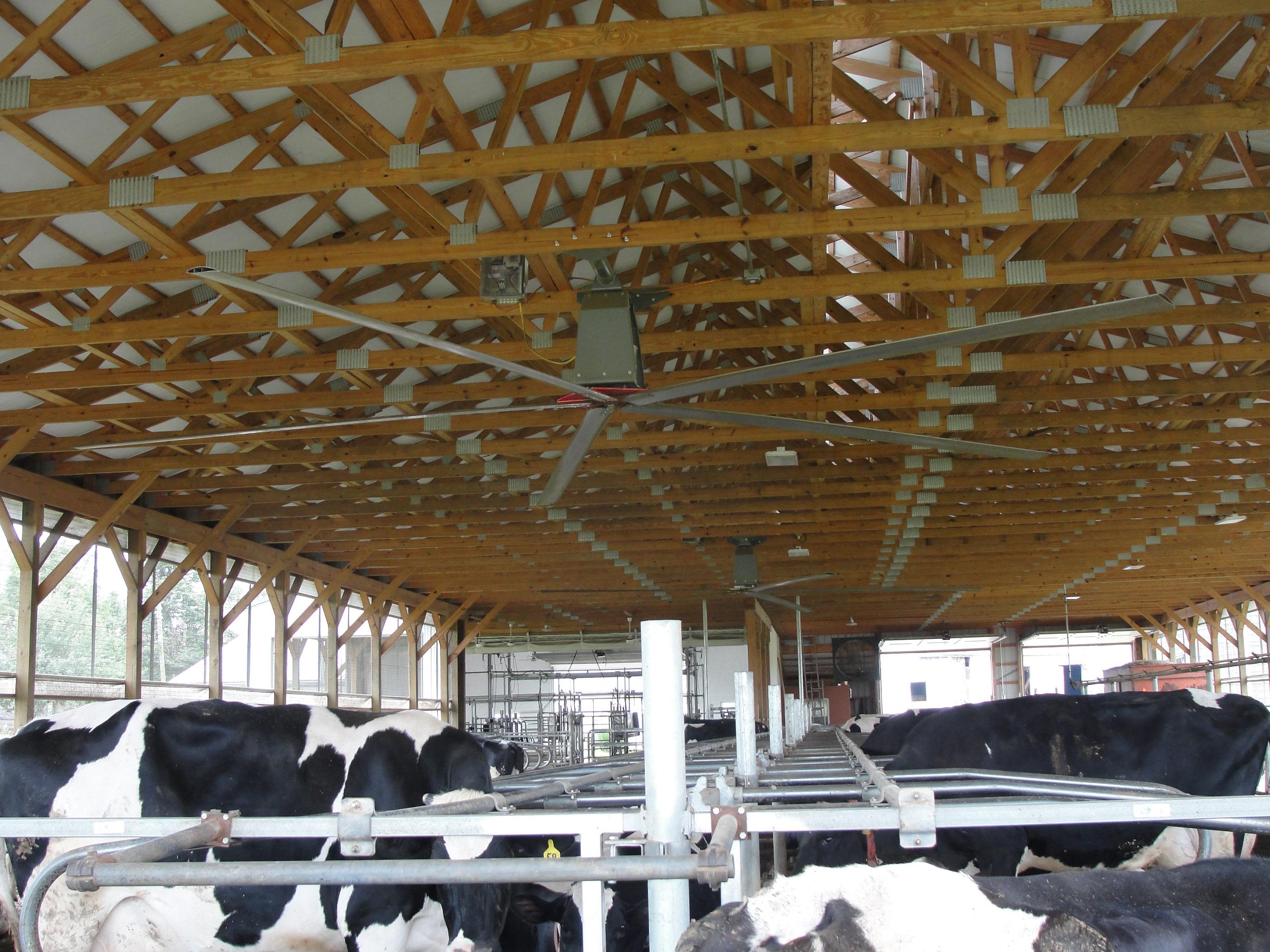 Big ceiling fans in a dairy barn