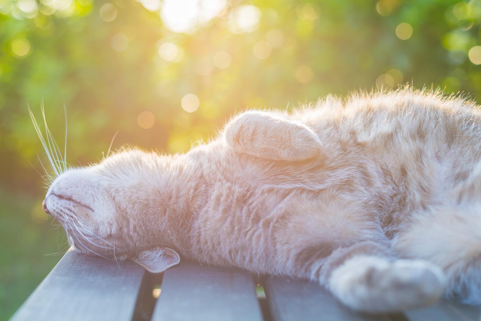 Oui, les chats prennent des coups de soleil !