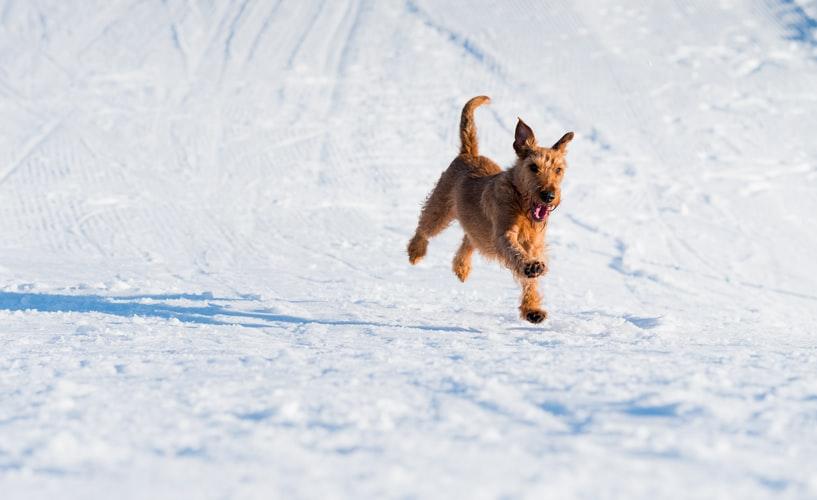 Le guide du Fox Terrier