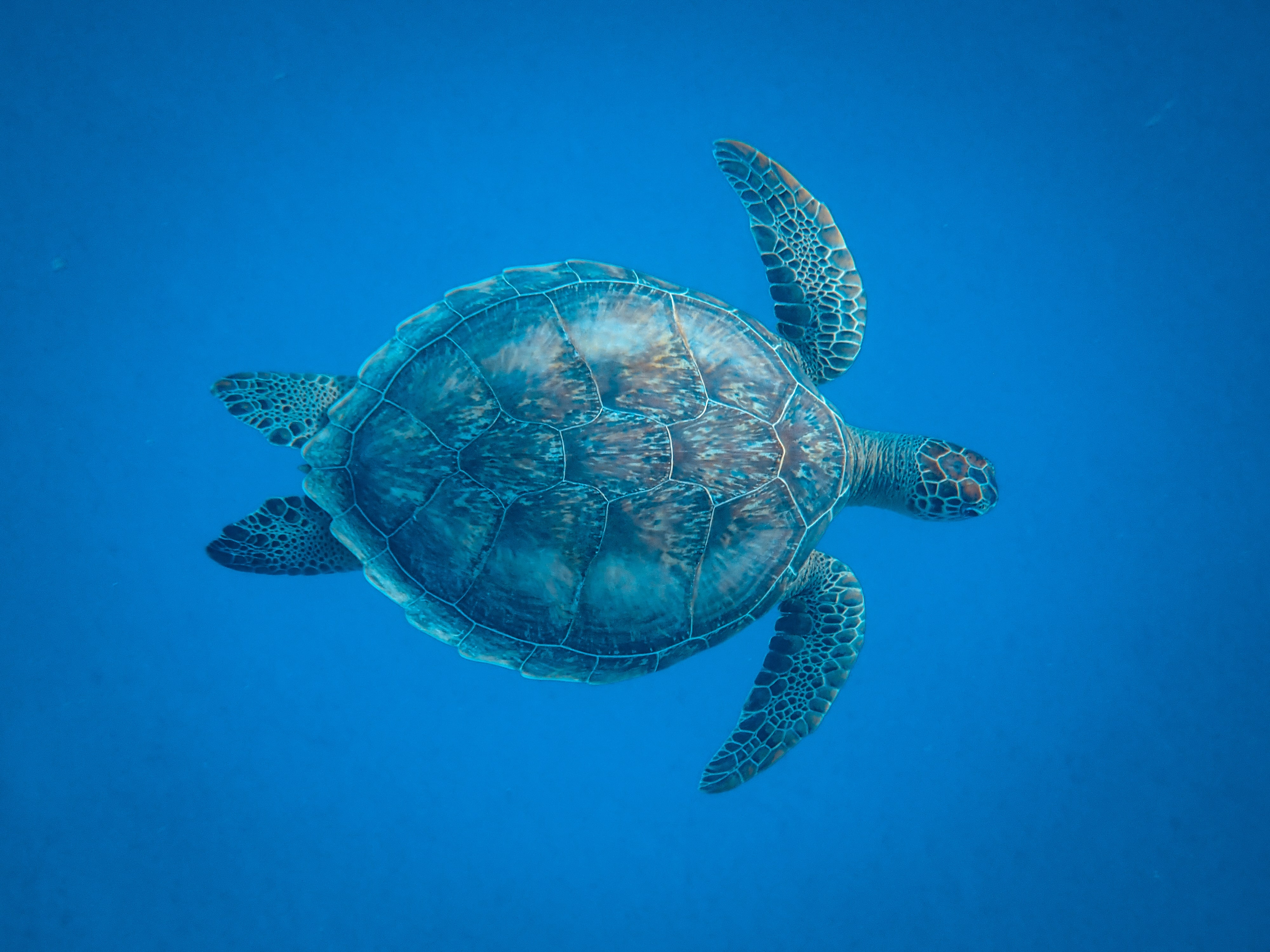 Picture of a turtle in the ocean.