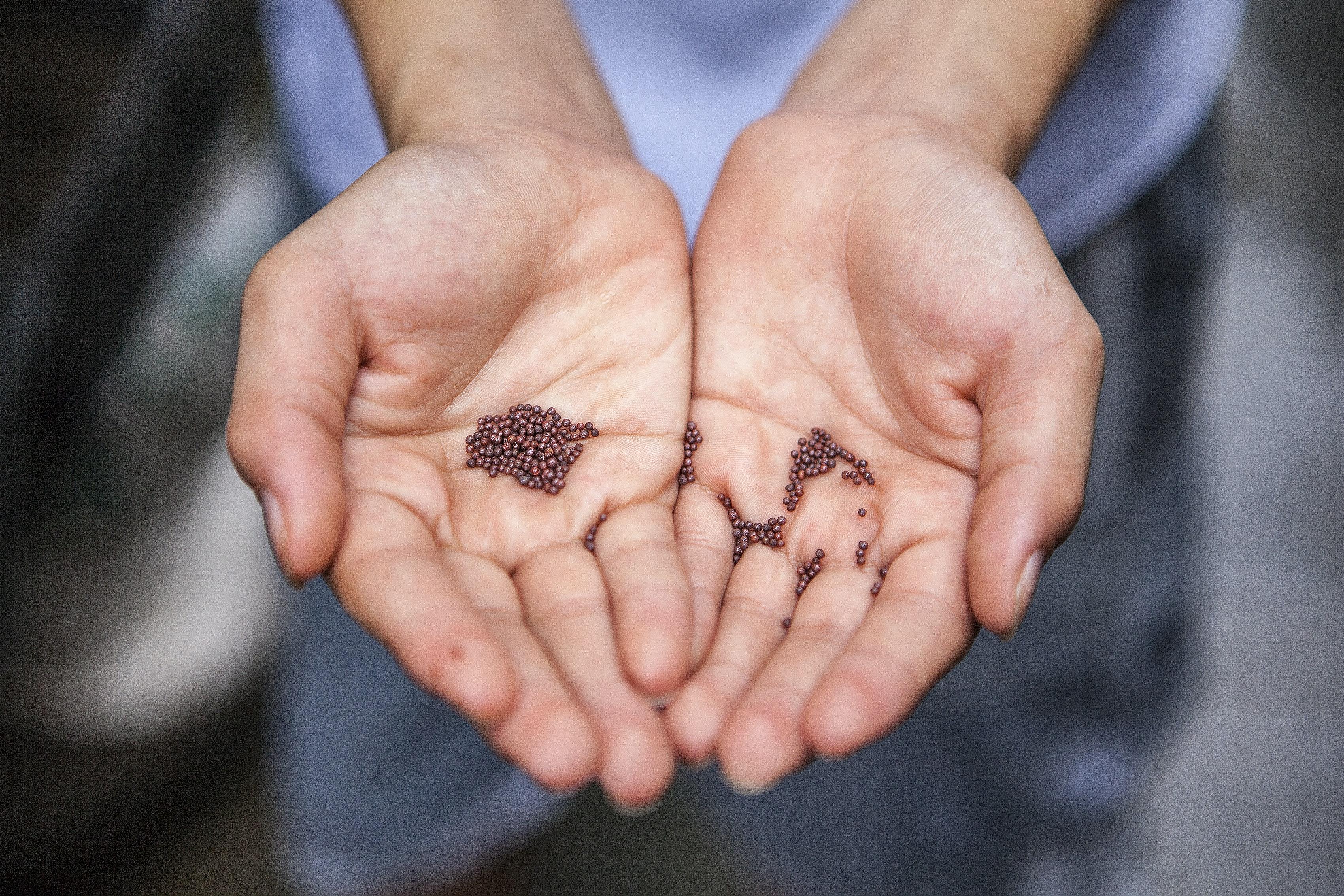 Seeds lying in open hands.