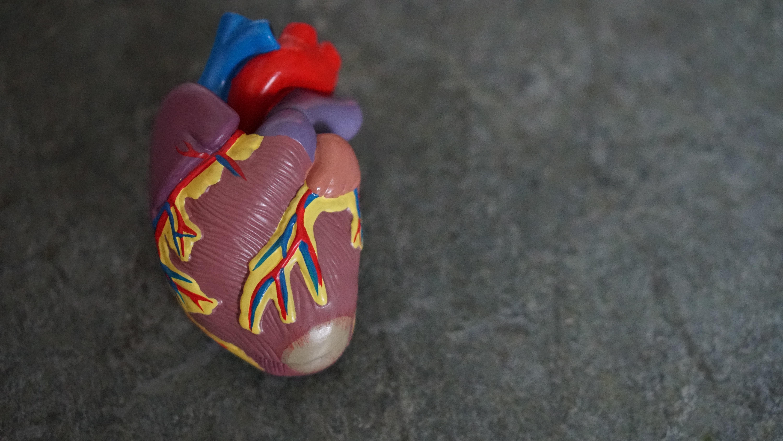 Model of a heart.