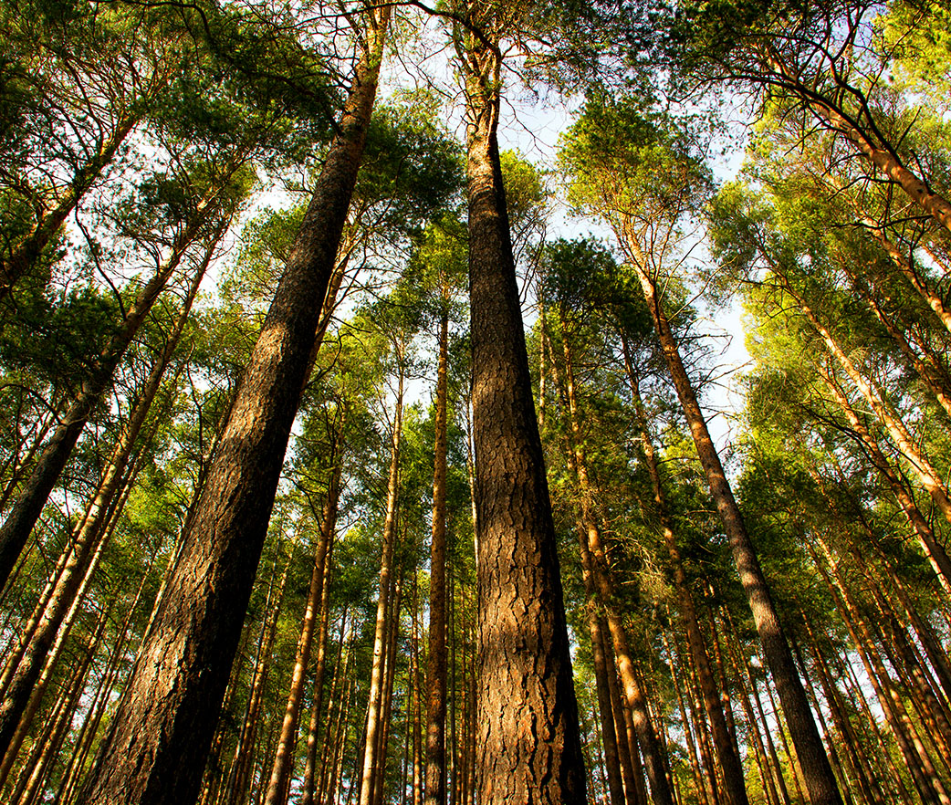 A forest full of pine trees.