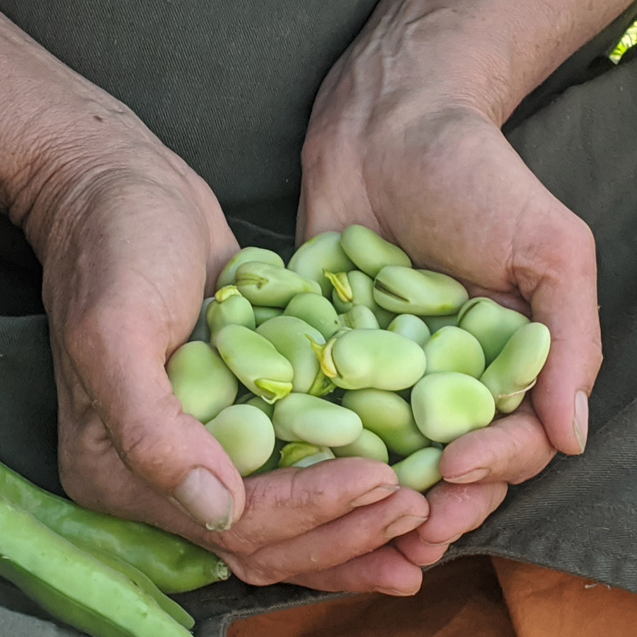 Broad beans at Waltham Place