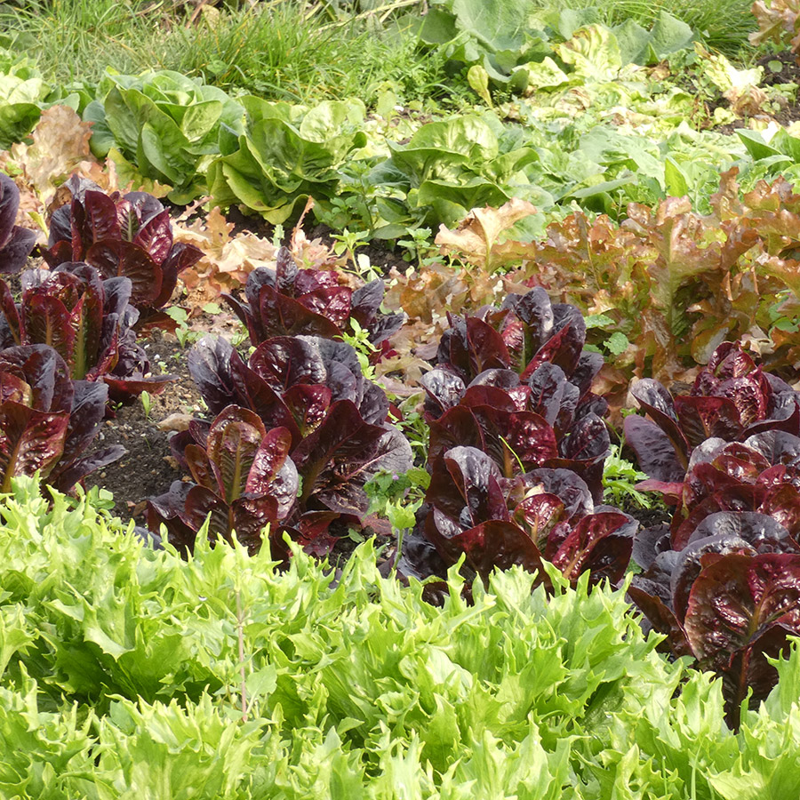 Lettuce at Waltham Place