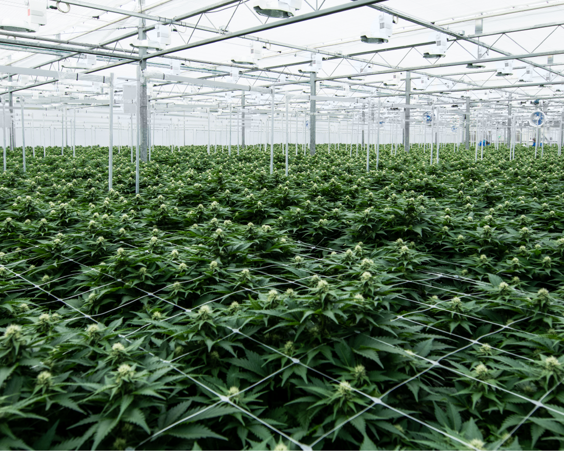 Photo of cannabis plants in a grow room