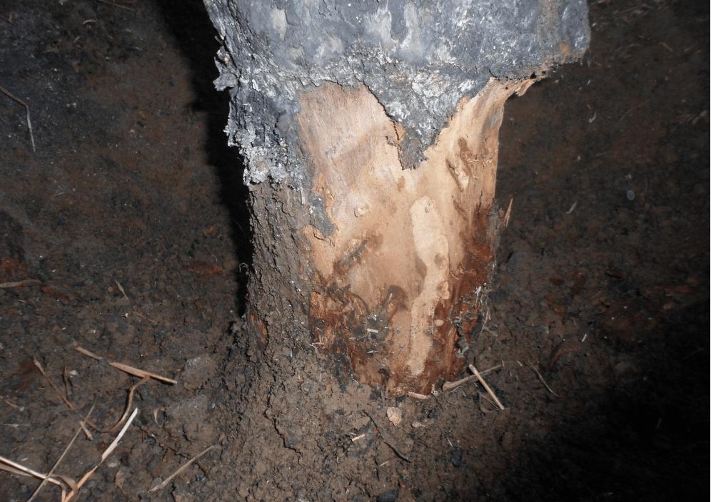 Capnodis'in ağaçtaki zararı