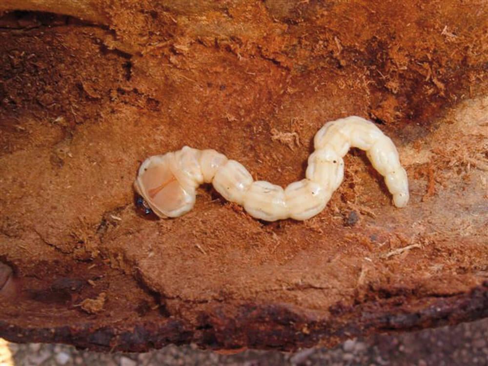 Capnodis larvası