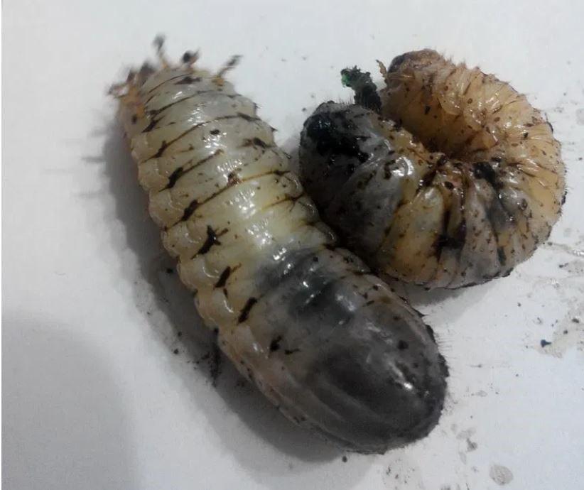 Mayıs ve Hazian böceği larvaları