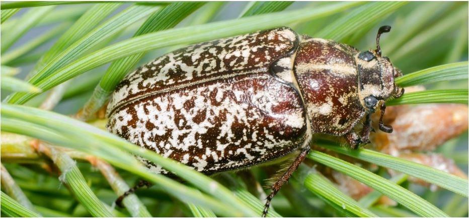 Haziran böceği ergini