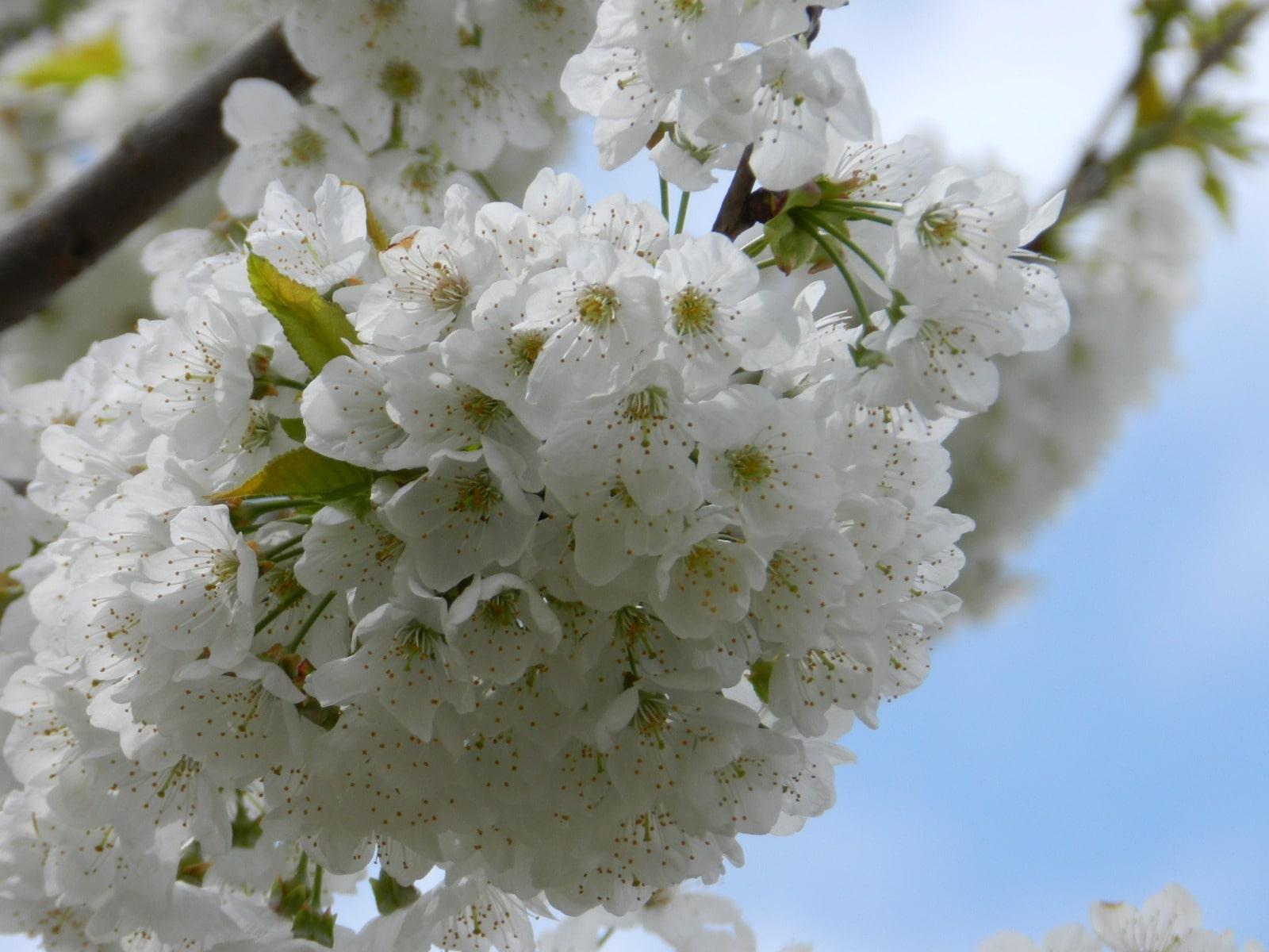 Vitormone uygulaması yapılmış meyve ağacındaki çiçeklenme