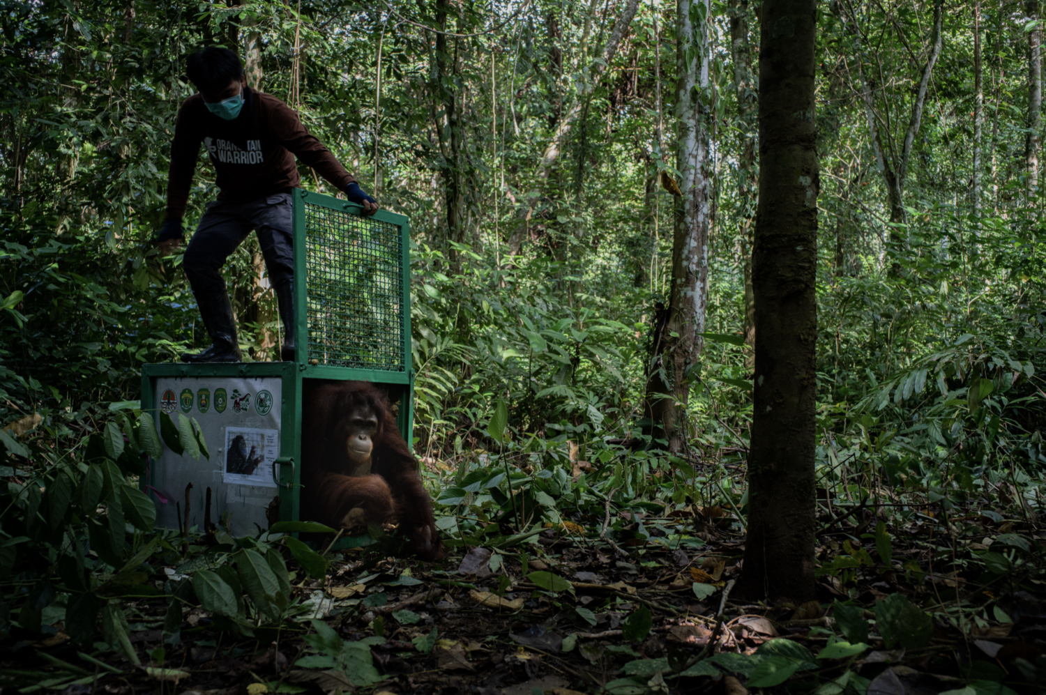 man releasing an orangutan from a crate into the rainforest in Borneo