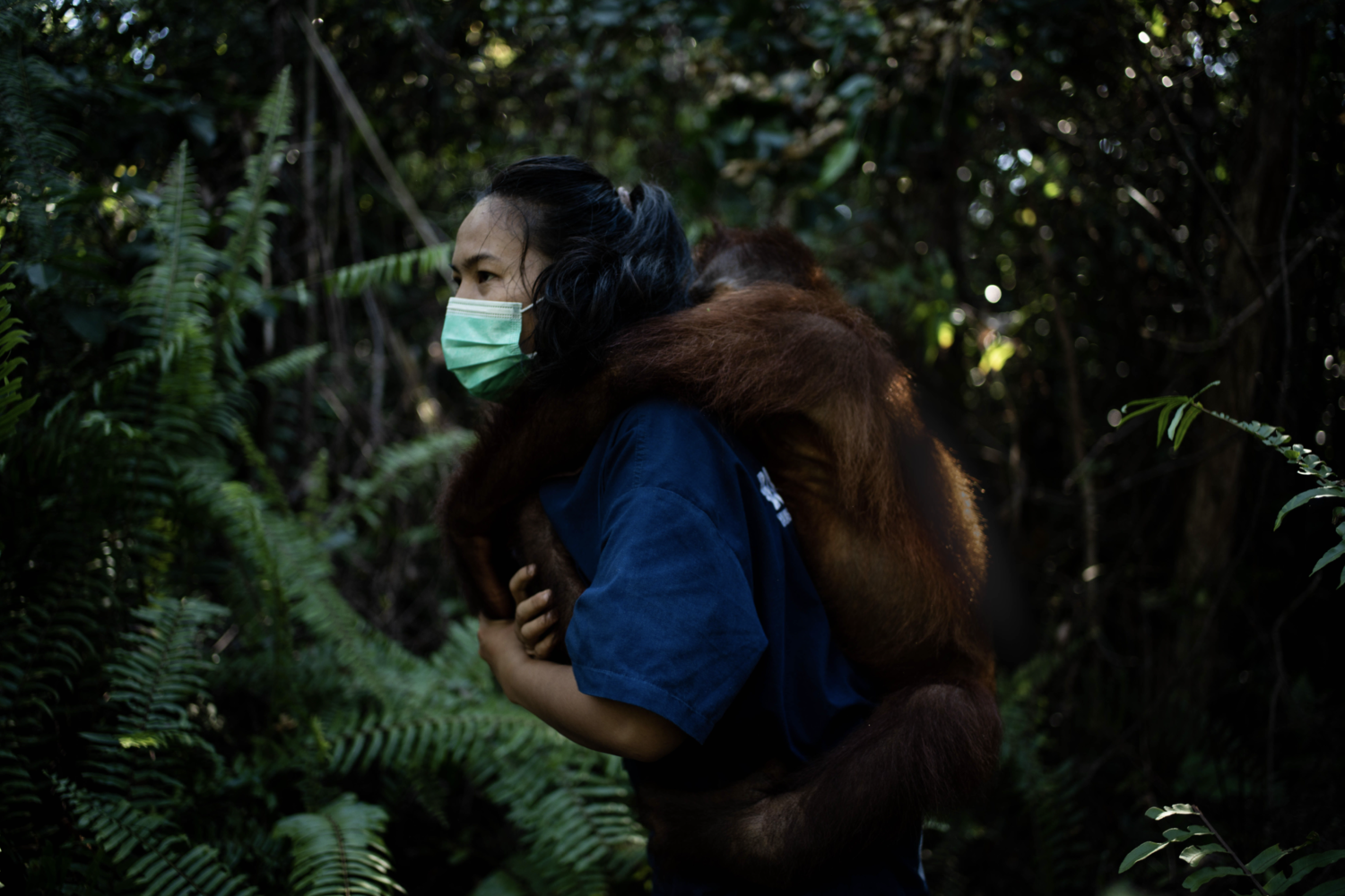 vet with an orangutan on her back in the rainforest in Borneo