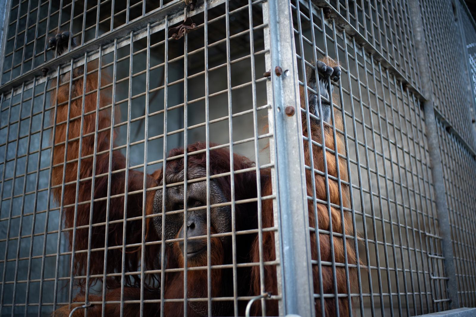 An orangutan in a cage before release into the wild in Borneo