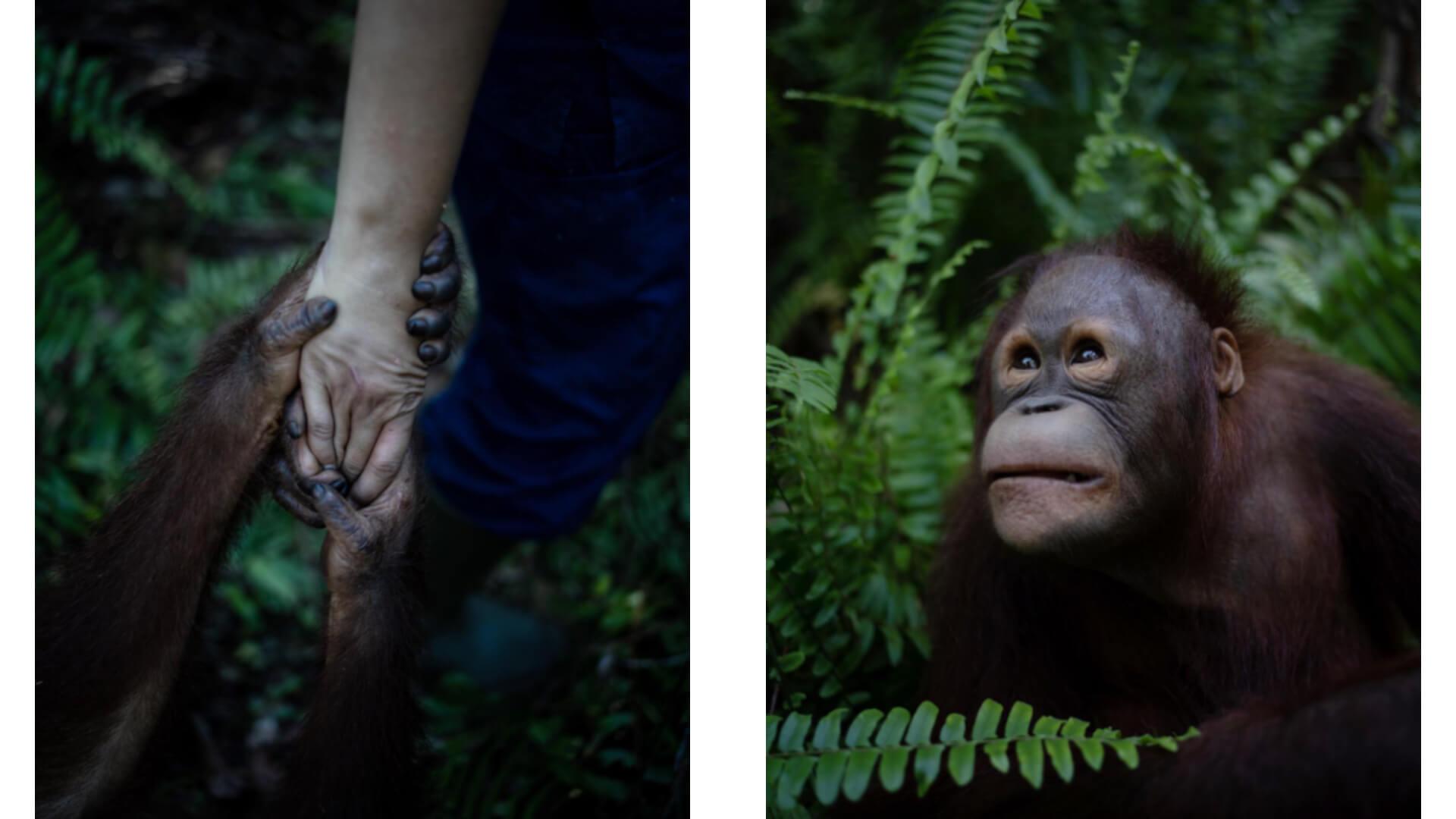 human and orangutan holding hands and an orangutan in the Bornean