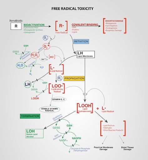 free radical toxicity infographic