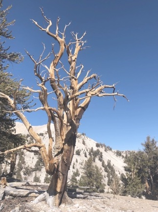 An ancient Bristlecone Pine Tree that is thousands of years old.