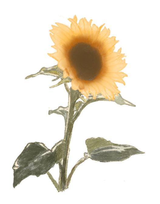 An illustration of a sunflower