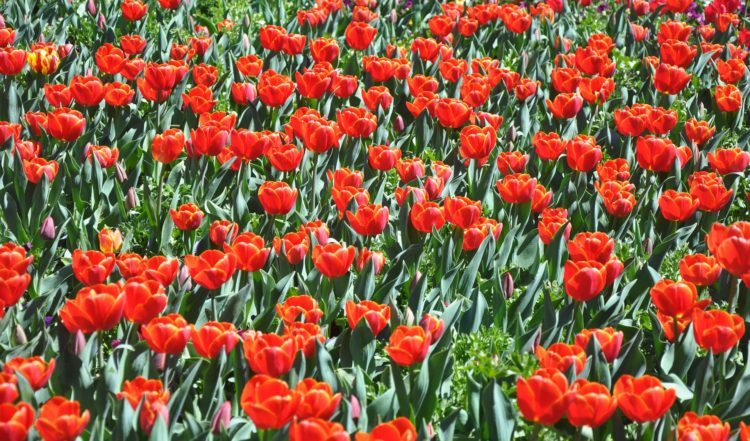 Flowers during Floriade in Canberra   Spotlight on Canberra article