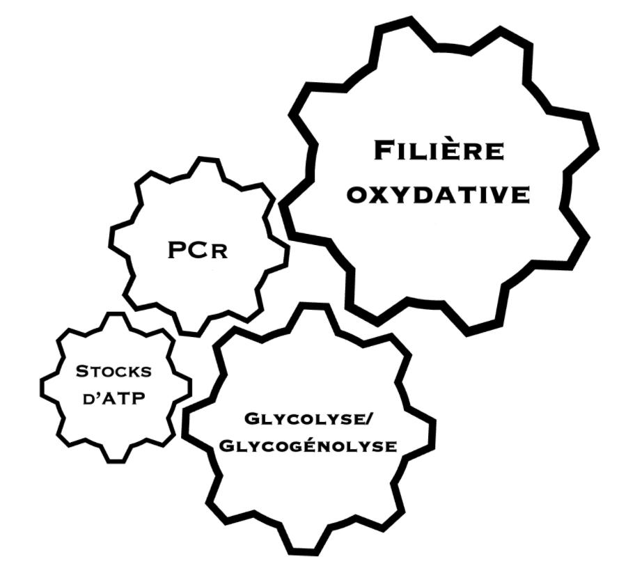 Schéma représentant l'interaction continue entre les différentes filières - PCr, Filière oxydative, glycolyse, ATP
