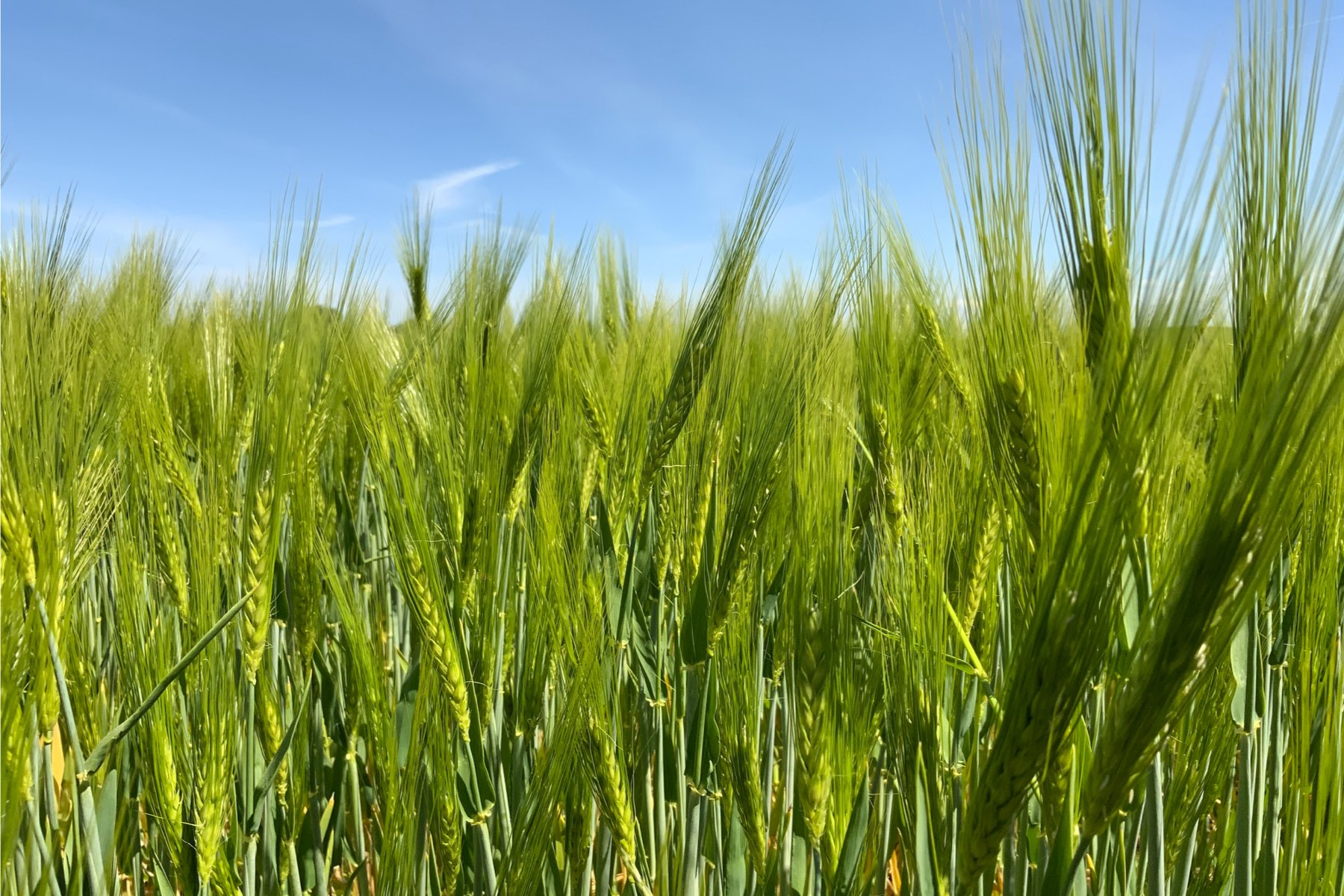 A wheat field with a blue sky