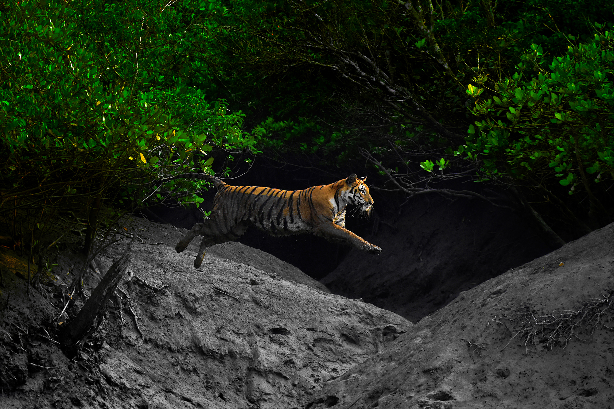 Adaptation of the Bengal Tiger – Arijit Das, India
