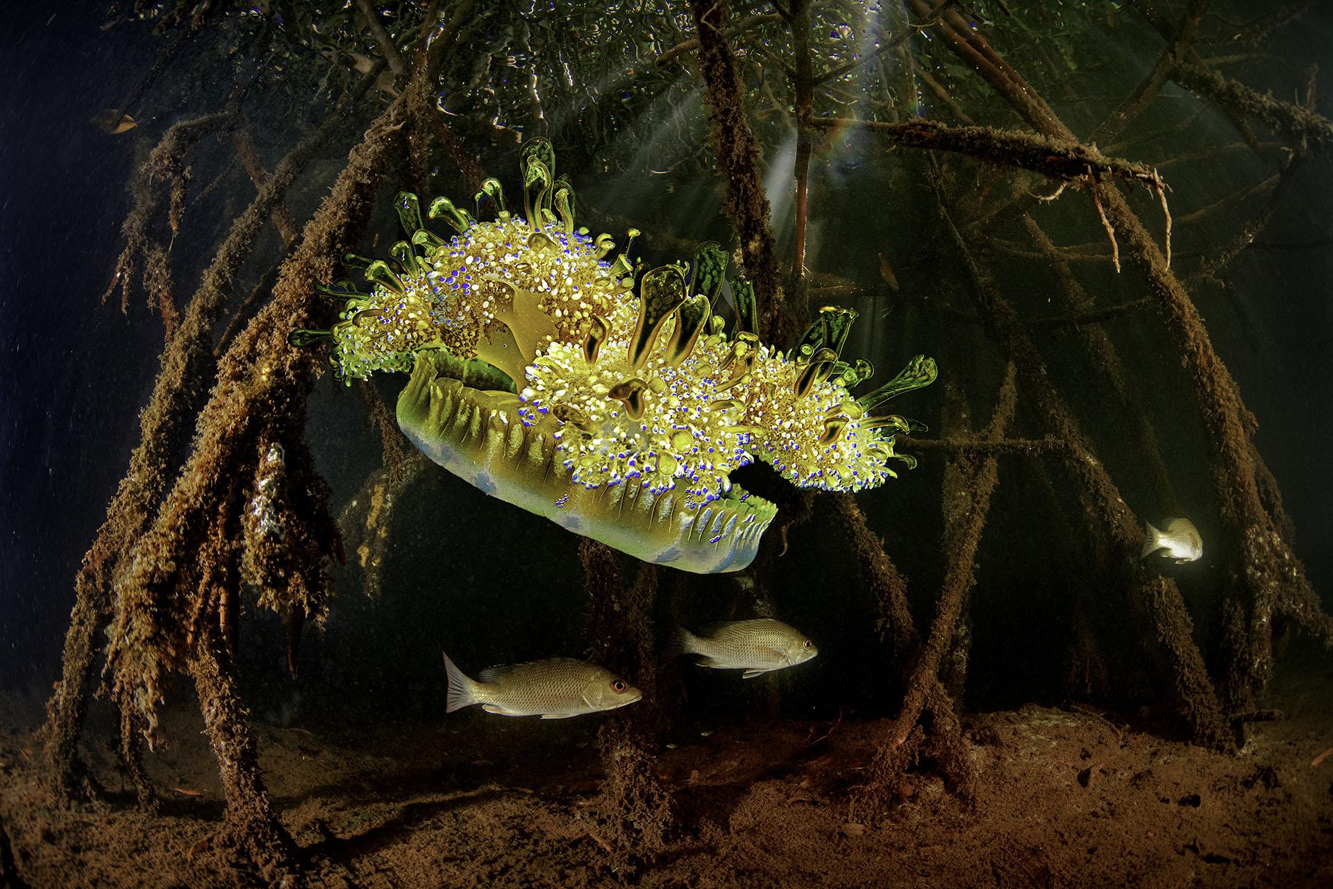 Upside down Jellyfish in the Mangrove - Loreno Mittiga, Netherlands Antilles
