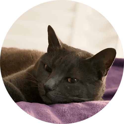 a gray cat on a bed