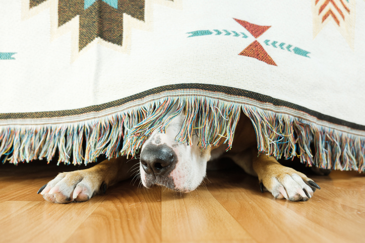 How to Prepare Your Dog for Fireworks