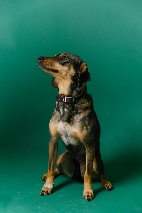 Armosa dog