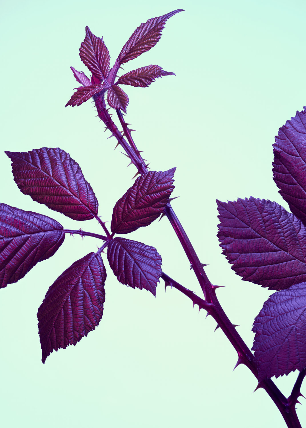 Blackberry bush photographed with purple and green colour gels - ryan ball food photography london