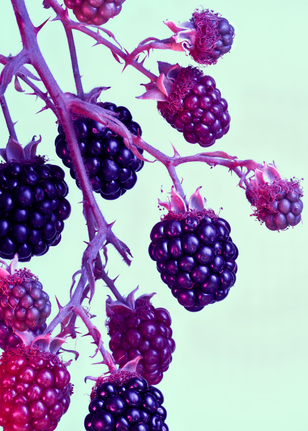 Cluster of Blackberries photographed on a green background - - ryan ball food photography london
